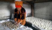Nghiên cứu khoa học kỹ thuật trong sản xuất men lá chân truyền Mẫu Sơn