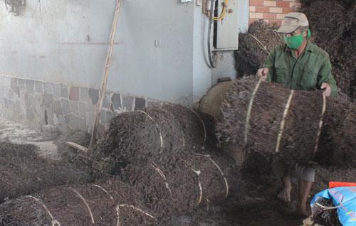 Hướng phát triển cây thạch đen thành cây trồng chủ lực
