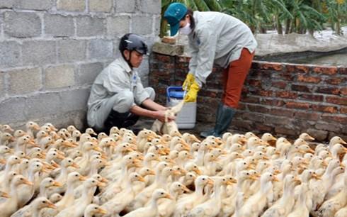 Dịch cúm gia cầm, lở mồm long móng đang lan rộng tại nhiều địa phương