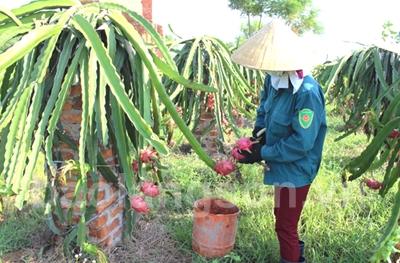 Nông dân Bắc Sơn tích cực cải tạo vườn tạp trồng cây ăn quả