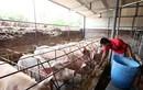 Giá lợn hơi liên tục tăng cao, người chăn nuôi không nên găm hàng