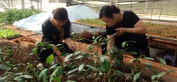 Nhân giống cây trà hoa vàng: Lưu giữ nguồn gen dược liệu quý