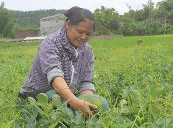 Văn Quan: Tăng thu nhập từ chuyển cây trồng