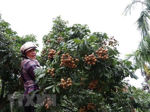 Bội thu mùa nhãn, nhiều nông dân Hải Dương lãi hàng trăm triệu đồng