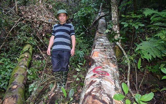 Điều tra, xử lý nghiêm vụ chặt hạ 17 cây gỗ lớn