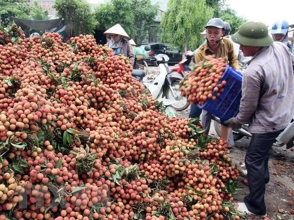 Gần 91% lượng vải xuất khẩu của Việt Nam là sang Trung Quốc