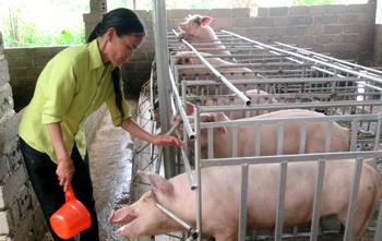 Giá lợn tăng: Cần cẩn trọng khi tái đàn