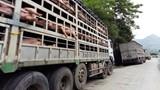 Ngành Giao thông vận tải ngăn chặn bệnh Dịch tả lợn Châu Phi