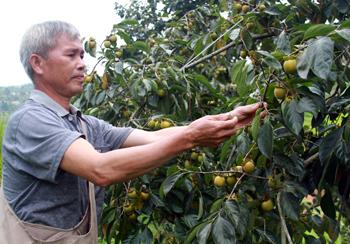 Hòa Cư phát triển cây ăn quả