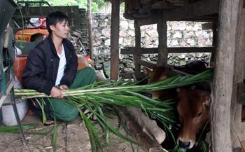 Chủ động phòng, chống đói rét cho trâu bò