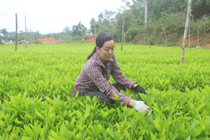 Hồ Sơn: Hiệu quả từ ươm cây giống lâm nghiệp