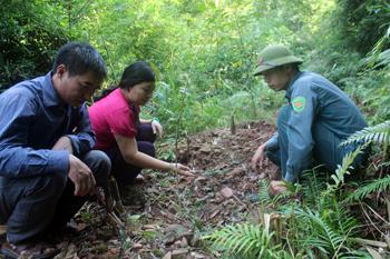 Làm giàu rừng thứ sinh bằng lâm sản ngoài gỗ: Nhân đôi lợi ích
