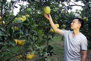 Phát triển các hợp tác xã trồng cây ăn quả: Điểm sáng Phượng Hoàng