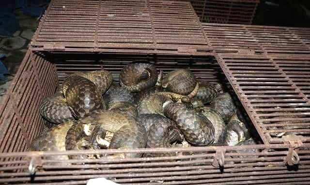 Phát hiện vụ nuôi nhốt trái phép 215 cá thể tê tê