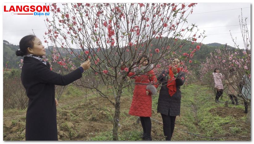 700 cây đào đẹp tham dự hội chợ hoa đào xã Quảng Lạc