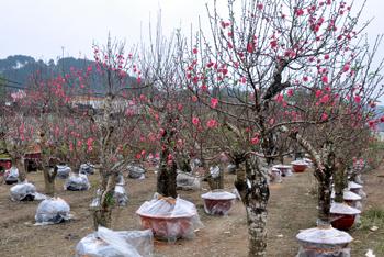 Quảng Lạc nhân rộng mô hình trồng hoa đào