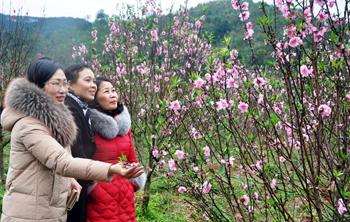 Thành phố Lạng Sơn: Thắm sắc đào khi tết đến xuân về