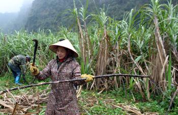 Chí Minh: Triển vọng từ cây mía