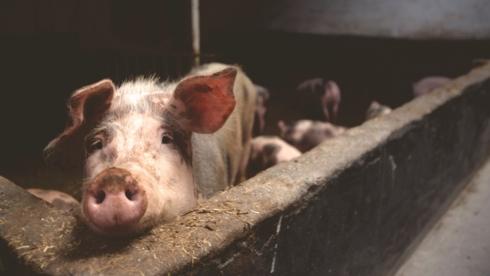 Nước đầu tiên trong EU khống chế thành công dịch tả lợn châu Phi