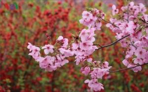 Đắm say với những con đường hoa anh đào tại Nhật Bản