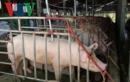 Giá thịt lợn hơi đang tăng, 3 tỉnh thành đủ điều kiện công bố hết dịch