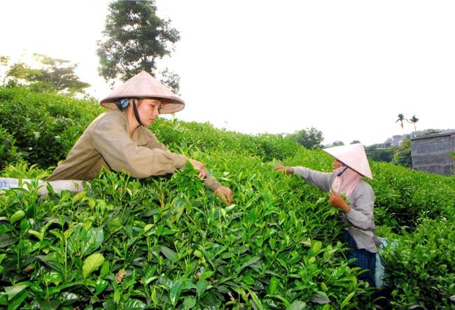 Thái Nguyên mở rộng vùng chè đạt tiêu chuẩn VietGAP