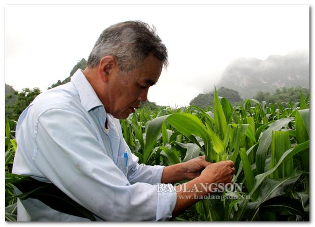 Tập trung phòng trừ sâu keo mùa thu hại ngô