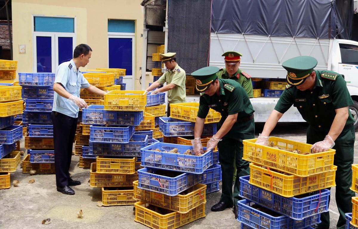 Bắt giữ đối tượng vận chuyển hơn 22.000 con gà giống nhập lậu