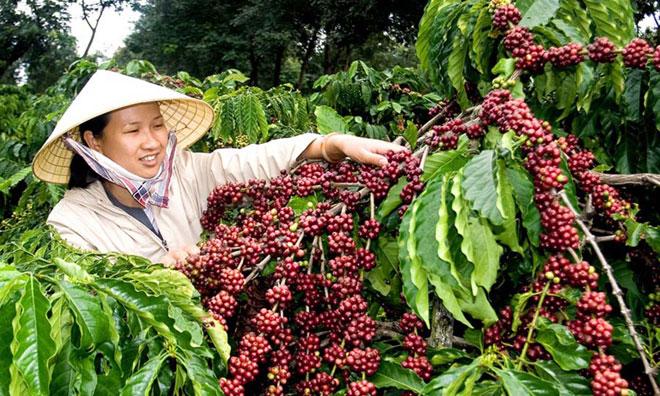 Xuất khẩu cà phê: Nhiều thách thức