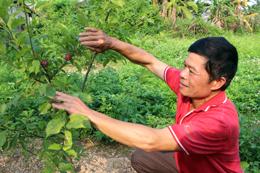 Người nông dân làm giàu từ cây ăn quả