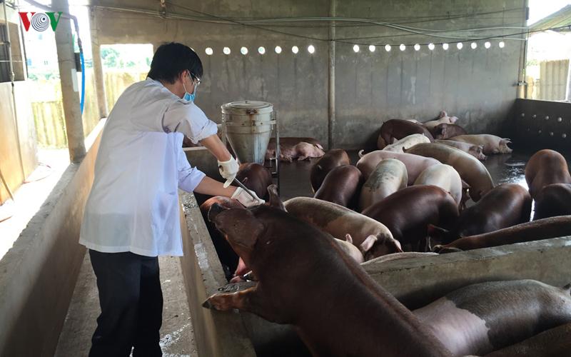Tiền Giang xác định có ít nhất 2 ổ dịch tả lợn châu Phi