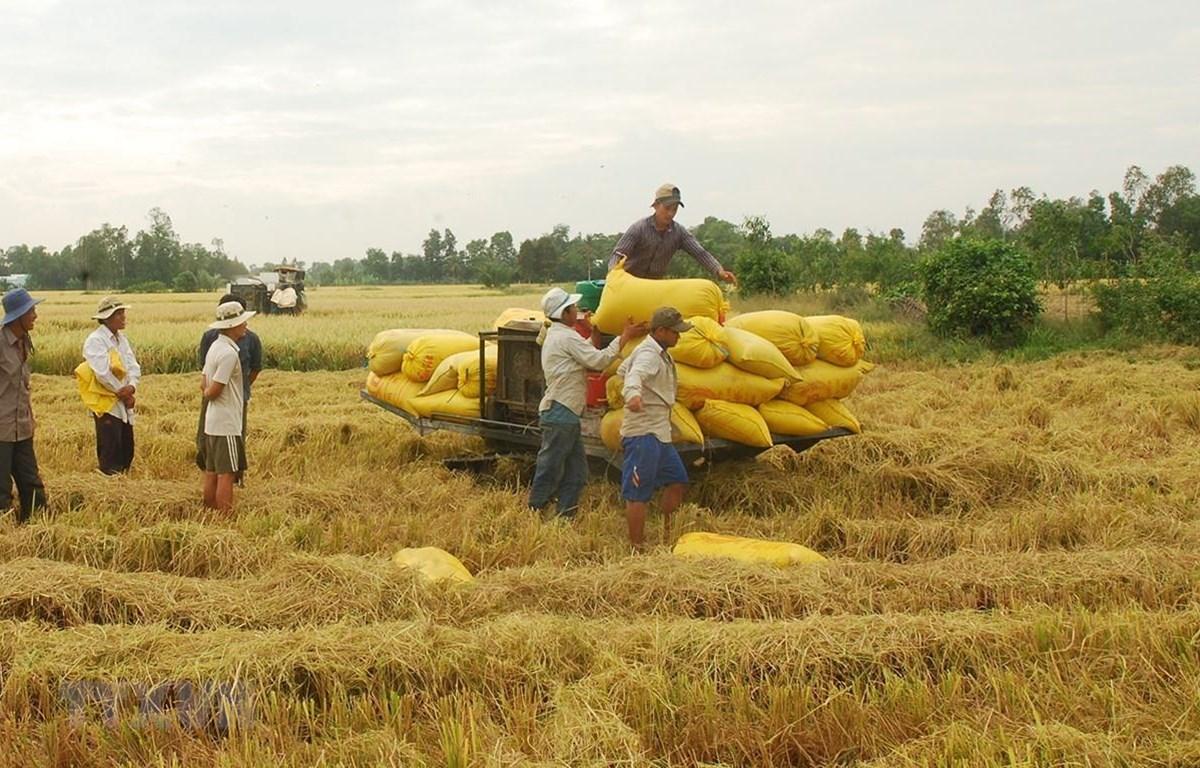 Nhu cầu gạo tại thị trường Ấn Độ, Thái Lan và Việt Nam vẫn khá yếu