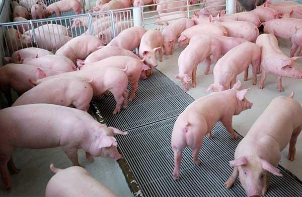 Dịch tả lợn châu Phi xuất hiện ở trang trại chăn nuôi lớn