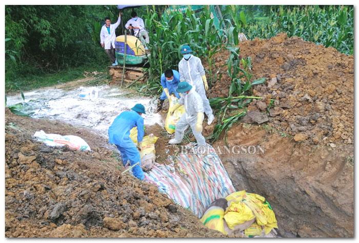 Đảm bảo vệ sinh môi trường khi tiêu hủy lợn bệnh