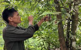 Xây dựng nhãn hiệu tập thể: Khẳng định danh tiếng quýt Tràng Định
