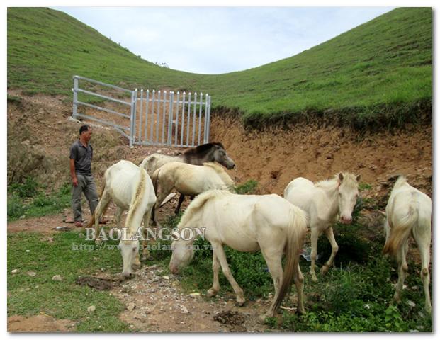 Tập trung phát triển chăn nuôi gia súc ăn cỏ