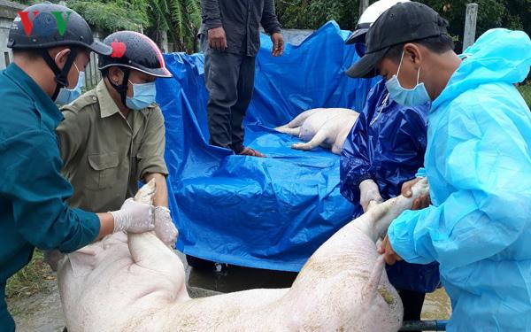 Bất cập trong chính sách hỗ trợ phòng, chống dịch tả lợn châu Phi