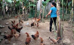 Bình Gia: Phát triển chăn nuôi gia cầm