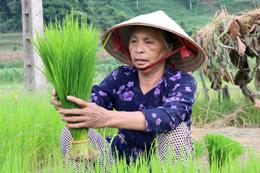 Tập trung chăm sóc lúa mùa