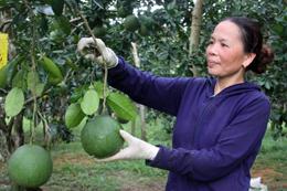 Phát triển cây ăn quả - Hướng đi ở Đồng Ý