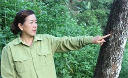 Hồng không hạt xã Bảo Lâm: Đối mặt nguy cơ thoái hóa