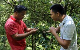 Văn Quan: Chủ động phòng chống sâu bệnh hại cây hồi