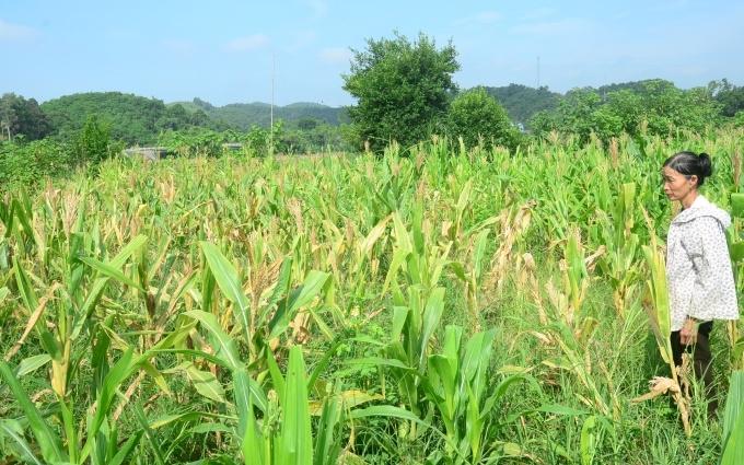 Hằng trăm ha ngô ở Tuyên Quang bị sâu keo gây hại