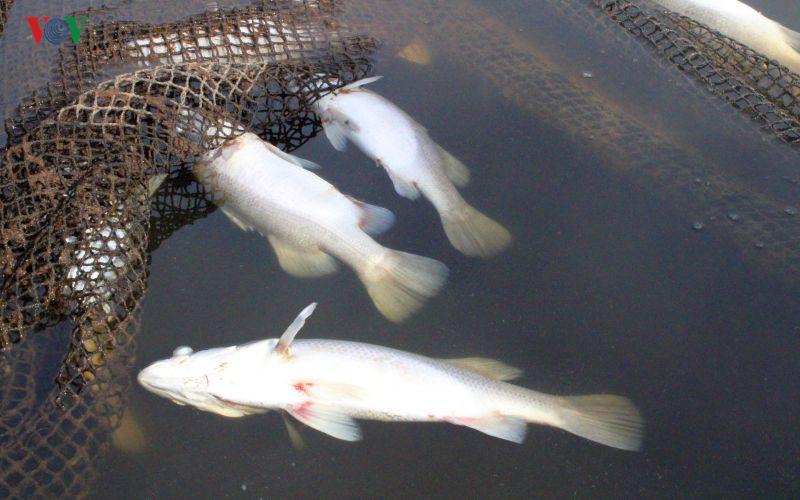 Hơn 80 tấn cá chẽm chết trắng, thiệt hại hàng tỷ đồng tại Hà Tĩnh