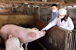 Người chăn nuôi chưa vội tái đàn lợn