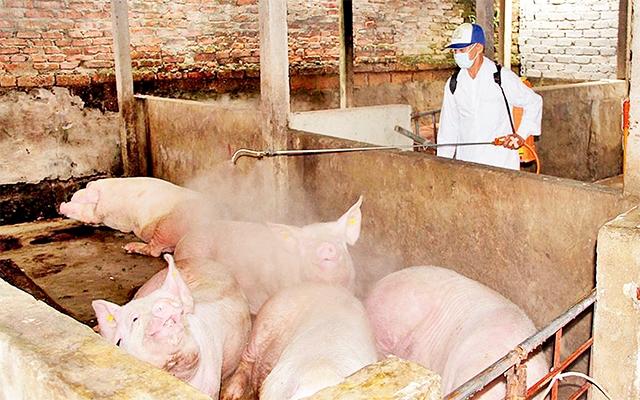 Dịch tả lợn châu Phi bùng phát tại Quảng Trị, Nghệ An