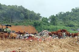 Tiếp diễn tình trạng chăn thả bò tại bãi rác Tân Lang: Tiềm ẩn nguy cơ lây lan dịch bệnh