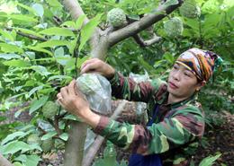 Cai Kinh: Tập trung mở rộng diện tích trồng cây ăn quả