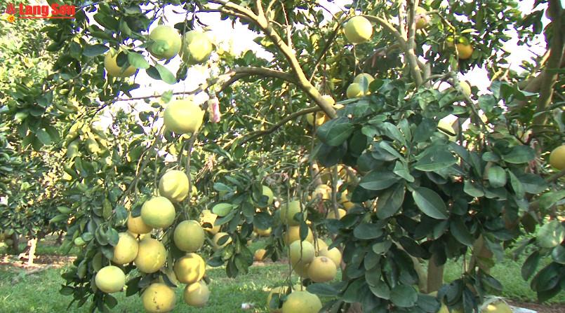 Hữu Lũng chú trọng nâng cao chất lượng cây ăn quả