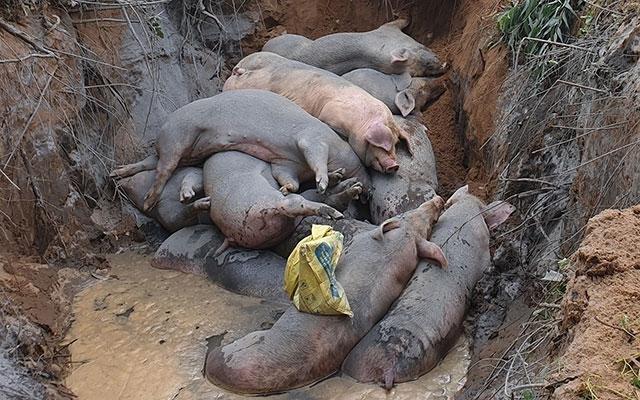 Tiêu hủy gần hai tấn lợn vận chuyển lậu từ Cambodia vào Việt Nam